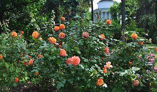 Warszawa wiosną zakwitnie różami