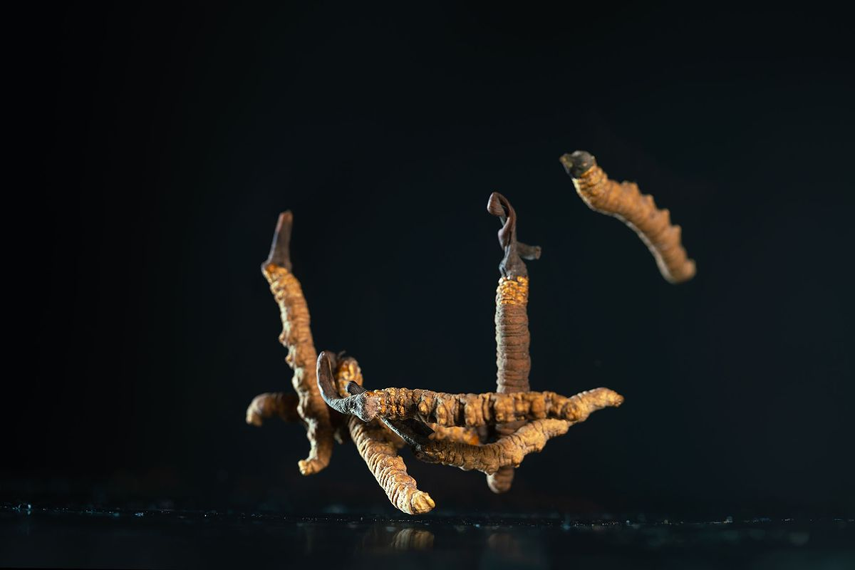 Grzyb Cordyceps sinensis.