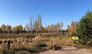 Ukraina. Stado zdziczałych krów w okolicy Czarnobyla