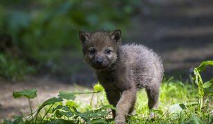 Beskidy. Turyści zabrali szczenię wilka. Przyrodnicy apelują: nie wynoście zwierząt z lasu