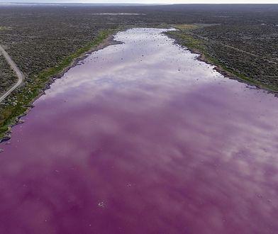 Argentyna. Lauguna Corfo zmieniła kolor na różowy