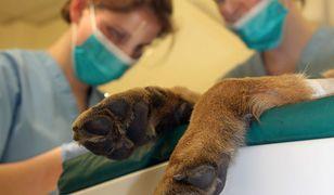 Inspektorzy z Dolnośląskiego Inspektoratu Ochrony Zwierząt uratowali skrajnie wygłodzonego psa (zdjęcie ilustracyjne)