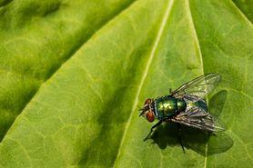 Owady - objawy alergii na jad owadów, pierwsza pomoc w użądleniu