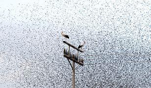 Bociany białe w Dolinie Jordanu. Wracają już na lęgowiska w Polsce