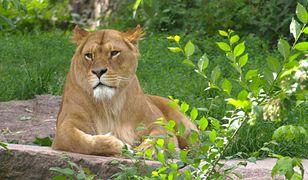 Lwiątka były pierwszym potomstwem młodej matki