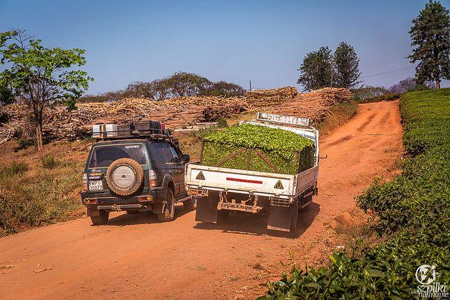 Ocean zieleni w spalonej słońcem Afryce. Z wizytą w fabryce herbaty w Malawi