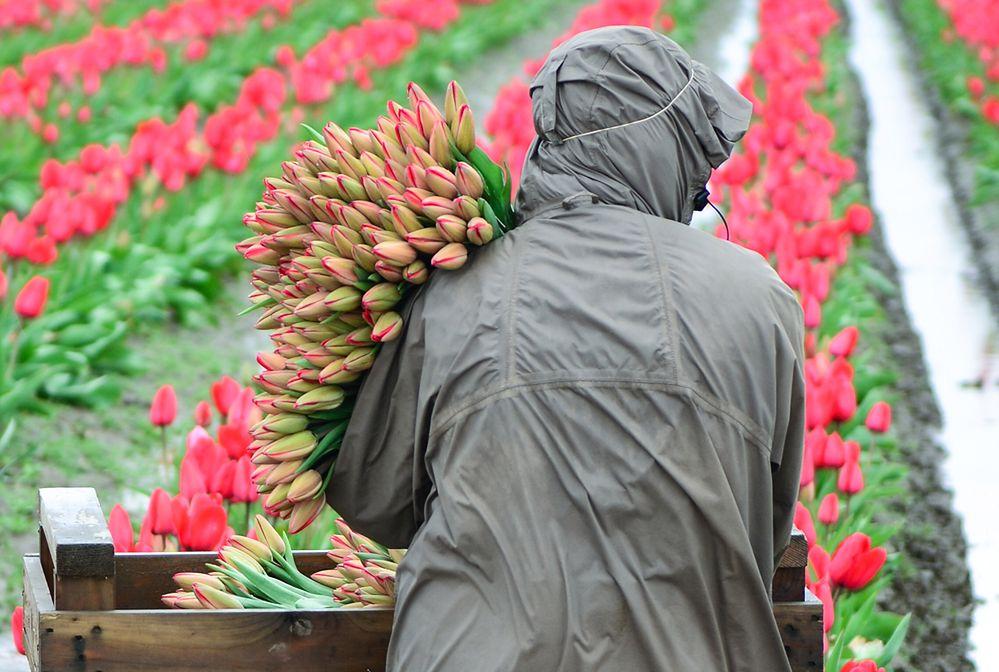 Dzień Kobiet. Tulipany w hurcie po 50 gr, ale w dyskontach niewiele drożej