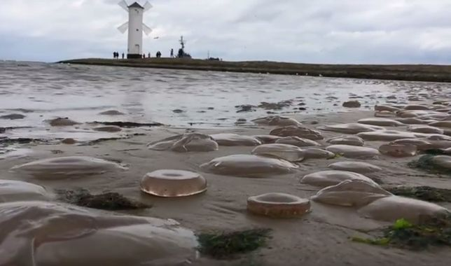 Meduzy pokryły całą plażę w Świnoujściu. Ta inwazja oznacza tylko jedno