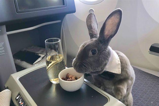 Królik leciał biznes klasą. Słodziak z muszką i szampanem