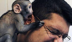 Harce 2-miesięcznej osieroconej małpki