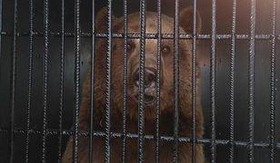 Okaleczony niedźwiedź zabrany z cyrku na Śląsku trafił do poznańskiego zoo