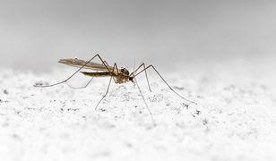 Komary odporne na zimno mnożą się w Europie. Eksperci biją na alarm