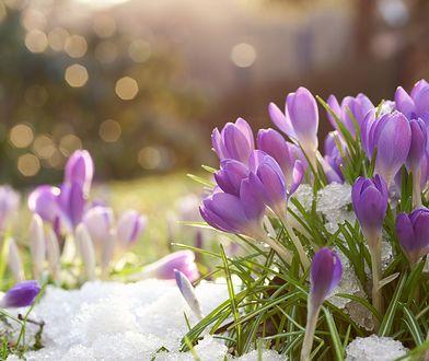 Pierwsze krokusy pojawiają w marcu, gdy tylko topnieje śnieg