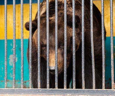 Cyrkowy niedźwiedź zaatakował tresera. Ledwo odciągnęli rozwścieczone zwierzę