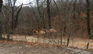 Zwierzaki przechadzały się poboczem Rock Creek Rd, niedaleko St. Louis w stanie Minnesota