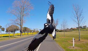 Reakcje obronne ptaka zostały zdiagnozowane jako nienaturalne