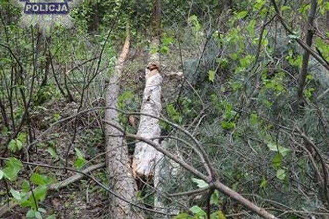 Tragiczna śmierć w lesie. 58-latek chciał wyciąć drzewo