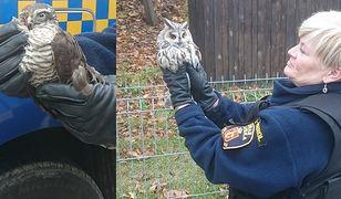 Ranny, zakrwawiony krogulec i zaatakowana przez inne ptaki sowa. Interwencja Eko Patrolu