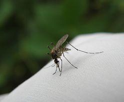 Czy komary mogą przenosić koronawirusa? Opublikowano pełne wyniki badań