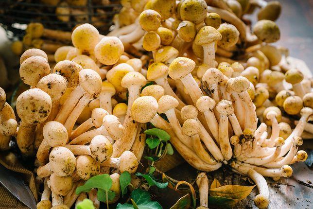 Opieńki to smaczne jadalne grzyby