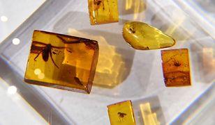 Gąsienica w bursztynie znad Bałtyku. Niezwykłe odkrycie sprzed 44 milionów lat.