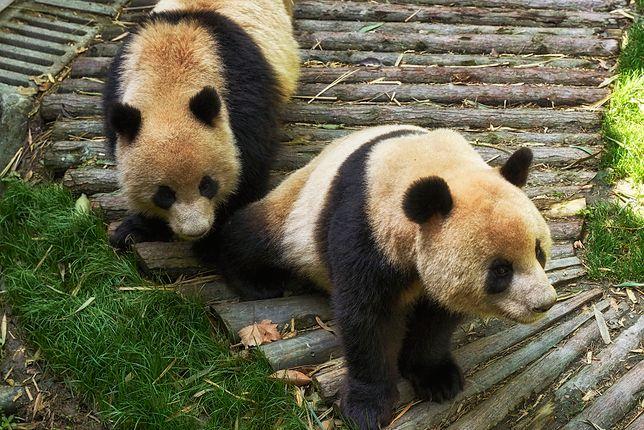 Ocean Park od 10 lat próbował sparować pandy. Koronawirus im w tym pomógł