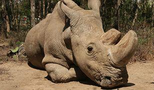 Sudan był ostatnim męskim przedstawicielem tego gatunku na świecie