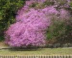 Sadzenie rododendronu