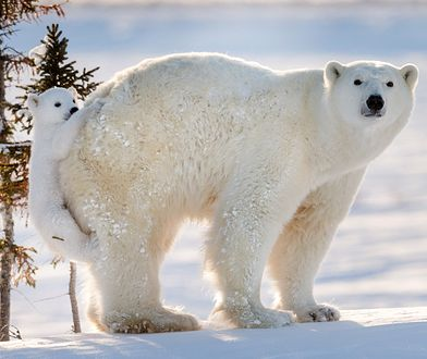 Król Arktyki staje się żebrakiem. Wszystko przez zmiany klimatu