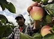 Dobry rok dla producentów jabłek