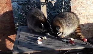 Legnica. Z azylu dla dzikich zwierząt skradziono dwa szopy