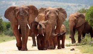 Dzikie zwierzęta na sprzedaż. Władze Namibii ratują je przed suszą