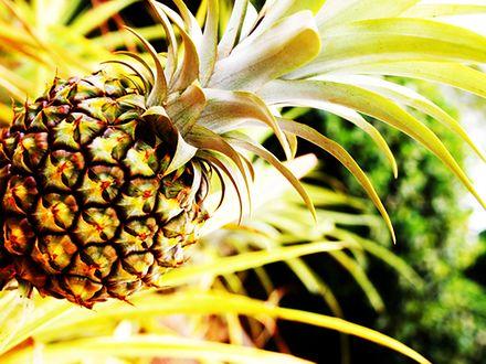 Gdzie rosną ananasy?