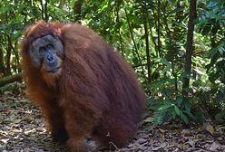 """Niezwykłe orangutany z Sumatry. """"Samozwańczy przewodnicy zakłócili ich rozwój"""""""