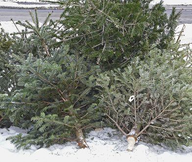 Co zrobić z choinką po świętach? 4 sposoby na pozbycie się drzewka