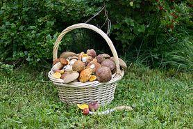 Piestrzenica kasztanowata – trujący grzyb o oryginalnym wyglądzie