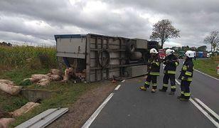 Świnie wyleciały z naczepy. Przy usuwaniu zwierząt z drogi pracowali strażacy.