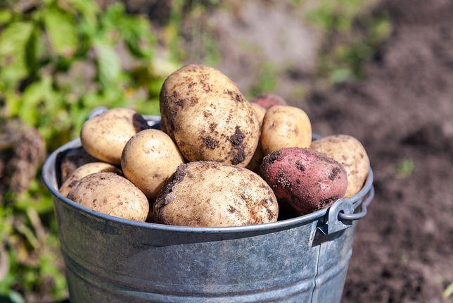 Wysokie ceny ziemniaków. Winny jeden czynnik