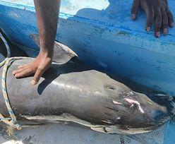 """Mauritius. Umierający delfin walczył o swoje dziecko. """"Miałem w oczach łzy"""""""