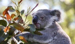 Koala spowodował karambol. Potem siadł za kierownicą
