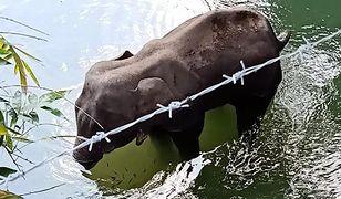 W pysku ciężarnej słonicy eksplodowały petardy. Zwierzę nie przeżyło