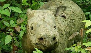 Ostatni nosorożec w Malezji. Samica zmarła po latach walki z nowotworem