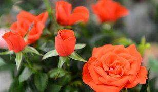 Życzenia na Walentynki 2019. Prezentujemy życzenia i wierszyki z okazji święta zakochanych