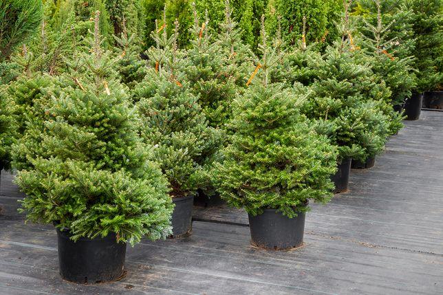 Jak wybrać choinkę? Podpowiadamy, czym należy się kierować kupując świąteczne drzewko