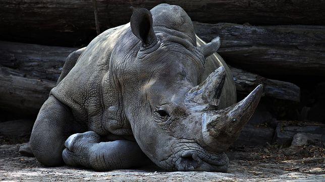 RPA. Udaremniono przemyt rogów nosorożców
