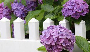 Hortensja ogrodowa kwitnie na pędach zeszłorocznych, czyli tych, które wyrosły w poprzednim sezonie.