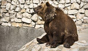 Niedźwiedzica Sabina