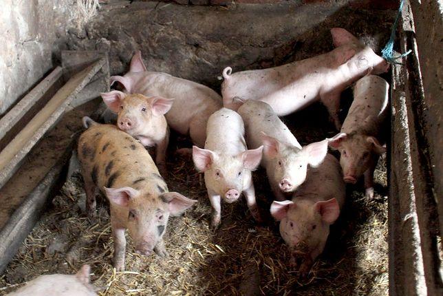 Aktywiści pokazali na filmach, w jaki sposób są traktowane zwierzęta w ubojniach