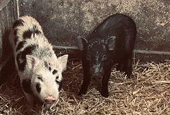 Urzędnicy szukają właściciela miniaturowych świnek. Odebranie zwierząt wiąże się z kosztami