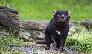 Australia kontynentalna. Pierwsze narodziny diabłów tasmańskich od 3 tys. lat